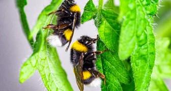I bombi mordono le piante per costringerle a fiorire in anticipo quando il polline scarseggia: la ricerca