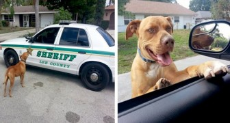 Officers are called for a dangerous pit bull, but when they arrive they see that he just wants to play