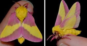 Questa rara falena con le ali rosa e gialle ci ricorda che la natura sa essere incredibilmente fantasiosa