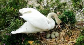 Prendono a sassate le uova di mamma cigno uccidendo tutti i suoi piccoli: denuncia contro ignoti sul Lago di Garda