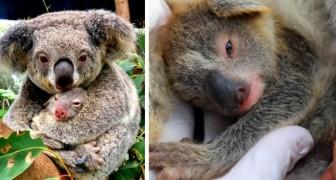 Australia, nasce il primo cucciolo di koala dopo i devastanti incendi del 2019: una speranza per il futuro