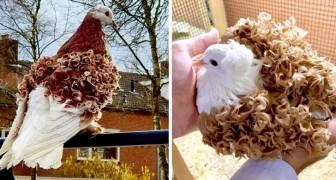 Les pigeons frisés ont les plumes des ailes tellement frisées qu'ils semblent avoir fait une permanente
