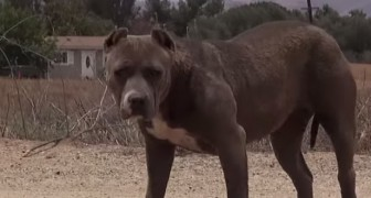 They thought it could be a threatening pit bull, but at 3:36 you'll see how sweet it is !