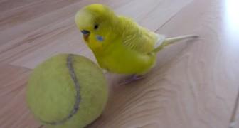 Het gedrag van deze papegaai met de bal is echt absurd