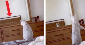 Questo gattino vede le sue orecchie riflesse su uno specchio per la prima volta e pensa che sia un intruso