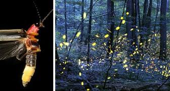 Glühwürmchen drohen wegen der Lichtverschmutzung für immer auszusterben: Die Wissenschaft bestätigt es