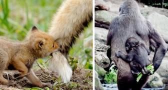 15 ouders uit het dierenrijk die weten hoe ze net zo liefdevol moeten zijn als mensen, en misschien zelfs meer
