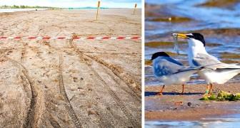 Francia: alcuni motociclisti distruggono uova e nidi di uccelli dopo un rodeo notturno sulla spiaggia
