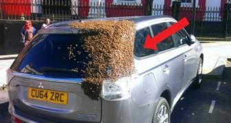 Le api assediano un'auto per 2 giorni: l'ape regina era rimasta intrappolata all'interno