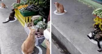 Questi gatti che rispettano il distanziamento per mangiare al mercato sono molto più ordinati di molti umani