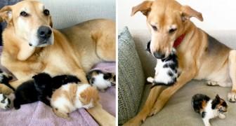 Una dulce perrita cuida a los gatitos abandonados en un refugio como si fuera su mamá