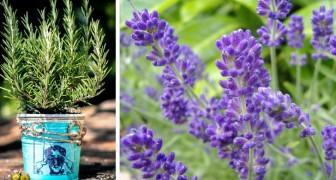 7 muggenwerende planten: in potten of in de tuin houden ze insecten weg op zomeravonden