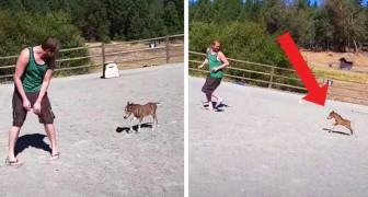 A 3-day-old mini-horse who can't stop chasing its human friend in a paddock