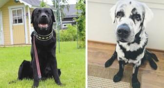 I proprietari non capivano perché il loro Labrador stava diventando bianco, poi hanno scoperto che ha la vitiligine