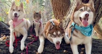 Un gattino abbandonato viene adottato da tre husky: adesso si comporta come se fosse uno di loro