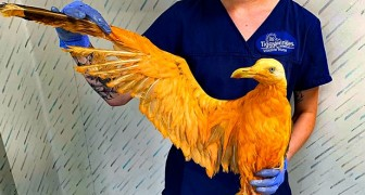 Ils sauvent un oiseau orange exotique : le vétérinaire découvre que c'est un goéland recouvert de curry