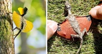 In Asia esistono delle lucertole volanti le cui ali di membrana ricordano dei draghi in miniatura