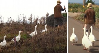 4 geese become bodyguards for an elderly woman: they follow her and protect her wherever she goes