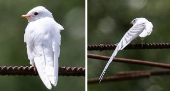 Perugia: un fotografo locale immortala una rara rondine albina a distanza ravvicinata