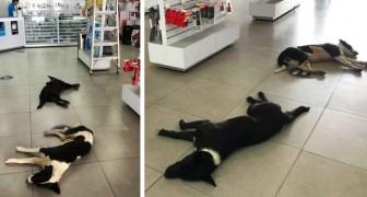 Een vrouw laat zwerfhonden haar winkel binnenkomen om uit te rusten en af te koelen met water en voedsel