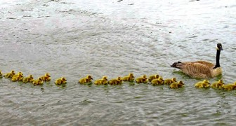 Fotografata un'oca con ben 47 pulcini al seguito: una vera super mamma