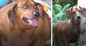 Obie, il bassotto obeso che ha perso più di 20 kg in un anno arrivando a sembrare un altro cane