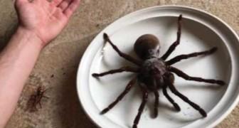 La tarantola golia è il ragno più pesante del mondo ed è grande quanto un piatto da portata