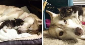 Une chatte abandonnée est adoptée et élevée par un Husky : elle se comporte maintenant comme un chien