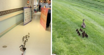 Why does this mamma duck escort her baby ducklings across the hallway of a nursing home every year? To get to the pond on the other side of the building!