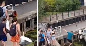 Un homme est poussé dans l'eau alors qu'il essaie de protéger des cygnes d'une fille qui leur donnait des coups de pied