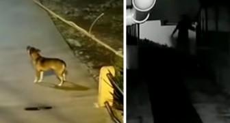 A polícia consegue pegar um ladrão graças à intervenção de um cachorro que não parava de latir