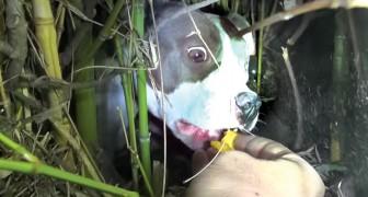 En skadad pitbull tik gömmer sig i buskarna tillsammans med...