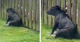 Este cachorro se coloca na frente da cerca todos os dias para receber uma massagem do vizinho de quatro patas