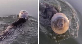 Un oso cachorro con la cabeza atrapada en un tarro de plástico corre el riesgo de ahogarse: una pareja lo salva