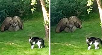 Un gufo intimidisce un gatto gonfiandosi e allargando le ali: la scena sembra uscita da un film western