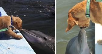 La tendre amitié entre un Golden retriever et un dauphin, inséparables depuis que le chien est chiot