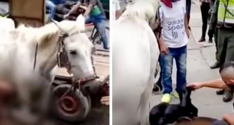 Une jument en gestation met bas en pleine rue alors qu'elle est obligée de remorquer un chariot : le propriétaire est dénoncé