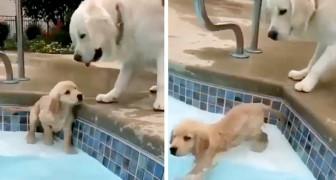 Um filhote de Golden Retriever aprende a nadar na piscina sob o olhar atento de sua mãe