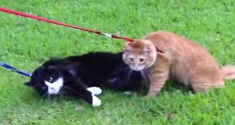 Quer levar seu gato para passear? O resultado provavelmente vai ser este...