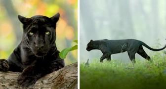 Een fotograaf vereeuwigt een zwarte panter in het bos in al zijn elegantie en majestueusiteit