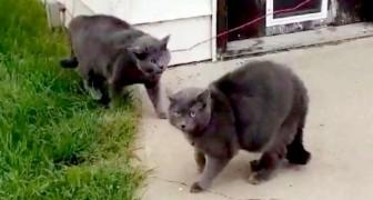 Una donna trova il suo gatto che gioca con un micio identico a lui: ha creduto che si fosse sdoppiato