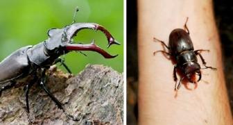 Wenn ihr einen auf einen Fliegenden Hirschen trefft, tötet ihn nicht: Dieser Käfer mit den gezahnten Kiefern ist vom Aussterben bedroht