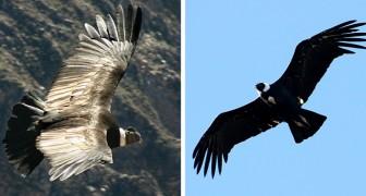 Il condor delle Ande è un maestro del risparmio energetico: può volare per 5 ore senza mai sbattere le ali
