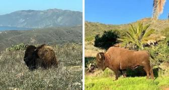 Nel 1924 una troupe cinematografica lasciò 14 bisonti su un'isola: oggi sono una vera colonia