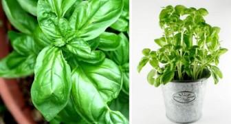 Le dritte utili per far crescere al meglio e più a lungo possibile le vostre piante di basilico