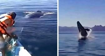 Een familie laat een in een net gevangen walvis los: het dier bedankt met spectaculaire sprongen