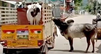 Um touro apaixonado tenta parar o caminhão no qual sua amada vaca está sendo levada embora