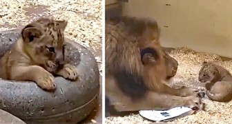 Papá león encuentra por primera vez a su cachorro: las imágenes son un concentrado de ternura