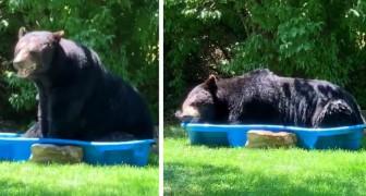 Um urso gigante entra no jardim de uma mulher e se refresca em uma piscina infantil: o vídeo é hilário