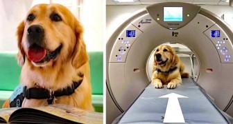 Este adorável Golden Retriever trabalha no hospital e ajuda as crianças a não terem medo de exames e tratamentos